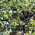 True Vine 1