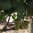True Vine 2