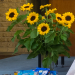 (Sun)flowers by Sandra (Duntocher)