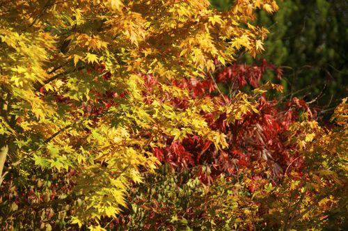 Acers Botanic