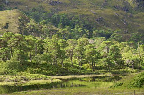 Ancient Caledonian Forrest
