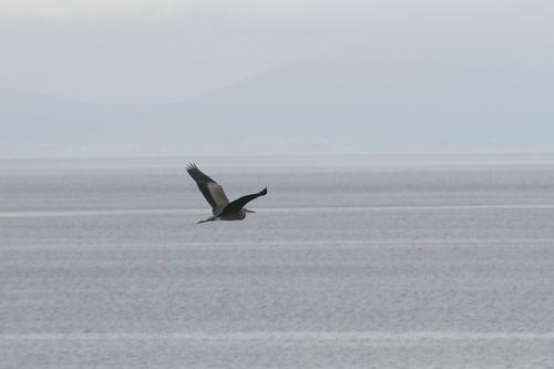 Herron in Flight Gairloch